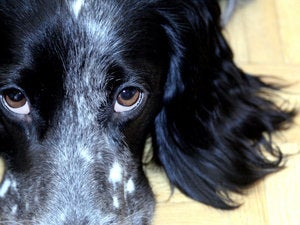 closeup of soulful eyes on dog 126471459