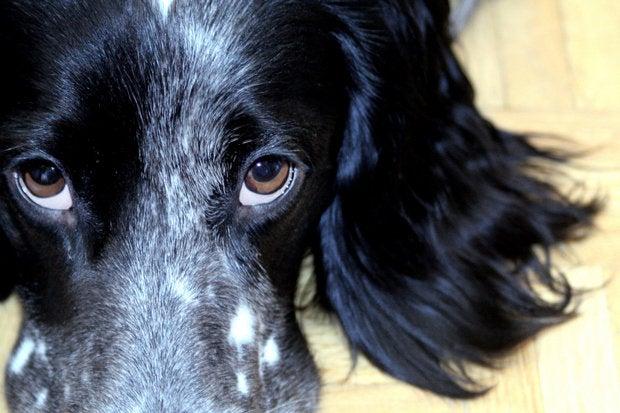closeup of soulful eyes on dog 126471459