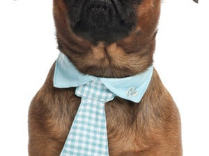 pug 3 years old wearing a tie 136623482