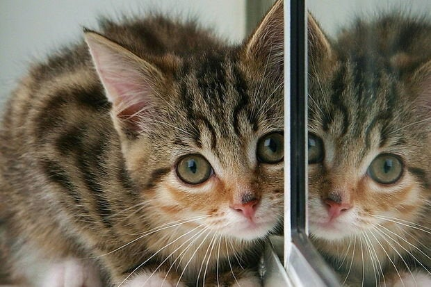kitten and partial reflection in mirror