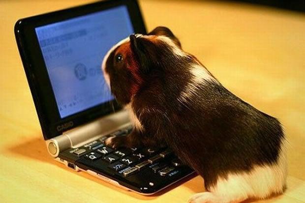 Online guinea pig