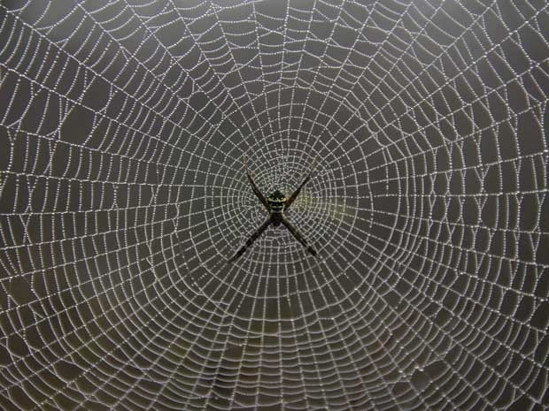 A spider weaves its web on tree