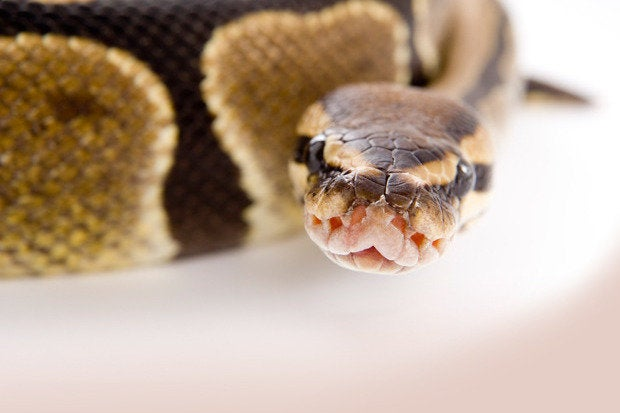https://images.techhive.com/images/article/2014/10/python-100506953-primary.idge.jpeg