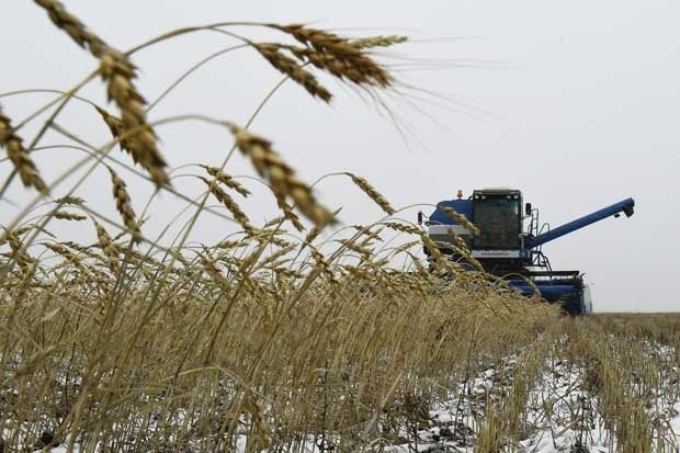 A combine harvester works on a wheat field