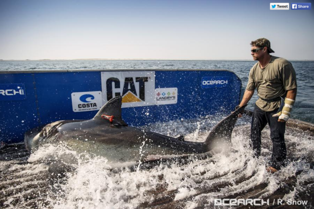 Katharine great white OCEARCH