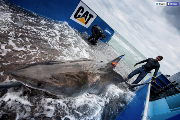 Lydia the great white shark OCEARCH