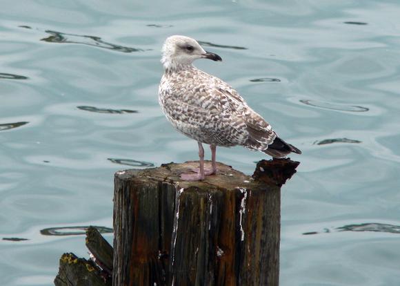 openoffice seagull