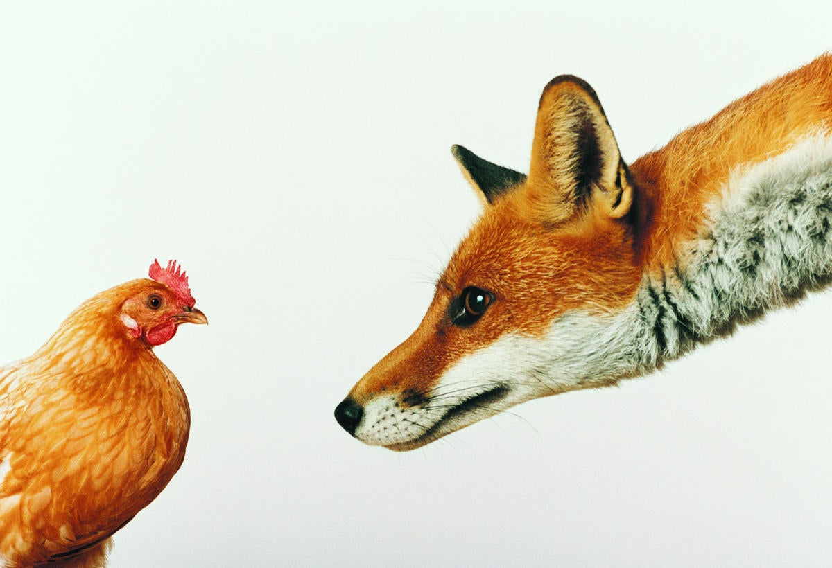 Fox staring and stalking hen