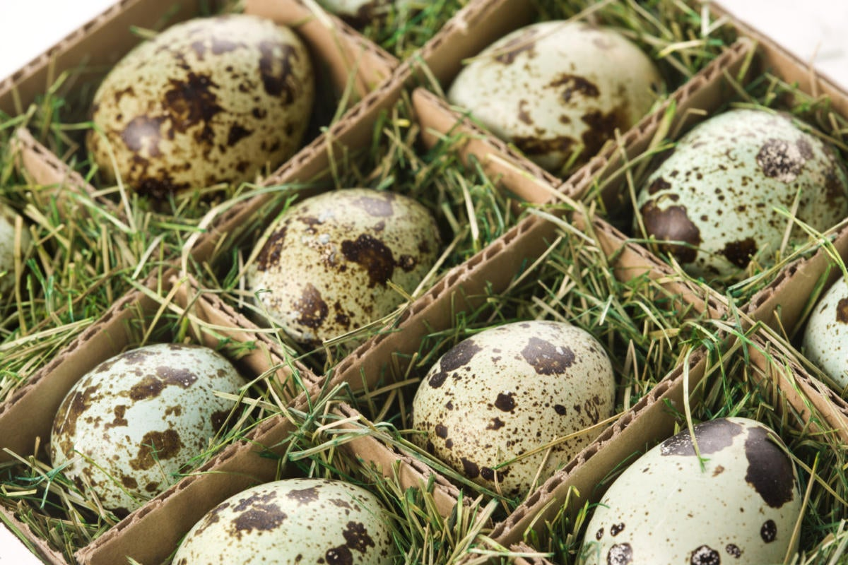 group of spotted eggs protected by grass