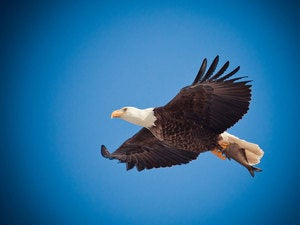 eagle soar bird fly flight sky