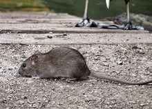 smell a rat 5