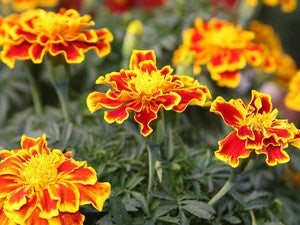 A collection of marigolds.