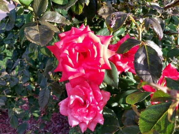 alcatel idol 4s over exposed rose