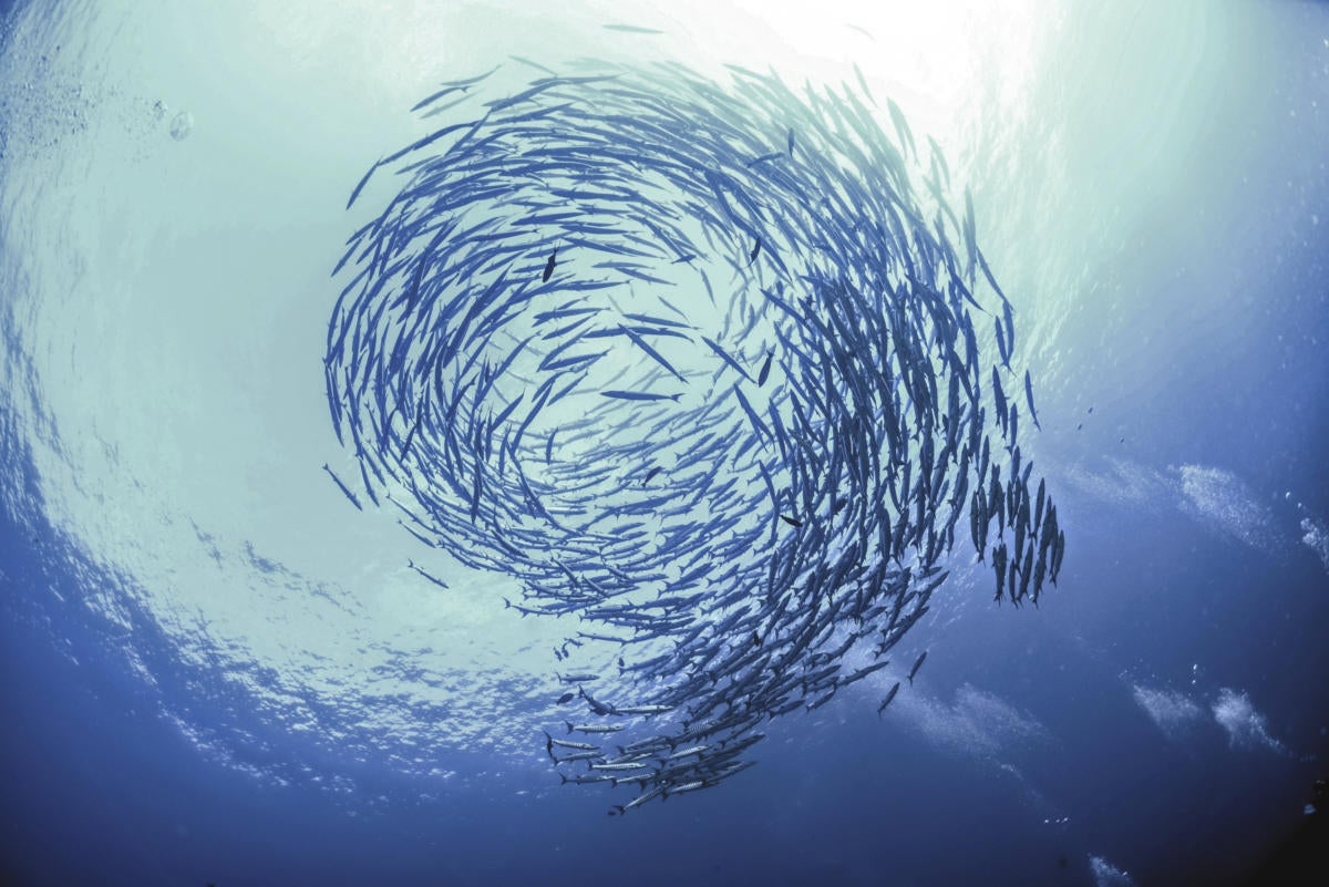 school of fish vortex
