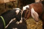 goats head to head