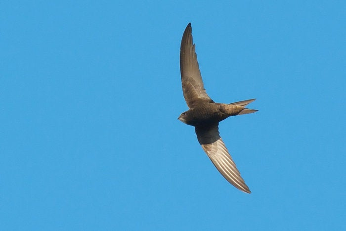 swift bird sky flying
