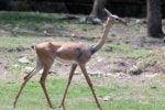 skinny slim deer svelte trim