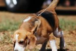 beagle dog puppy hound