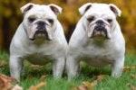 3 replication bulldogs twin