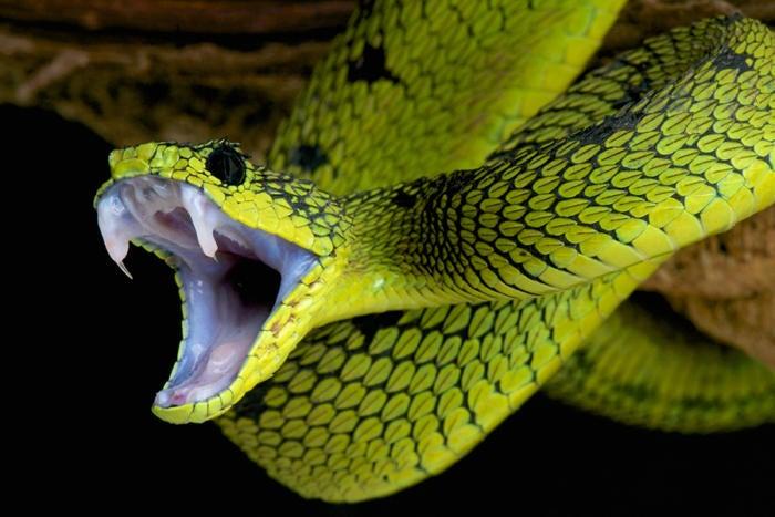 snake fang attack