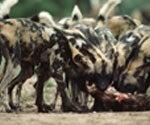 wild dog pack