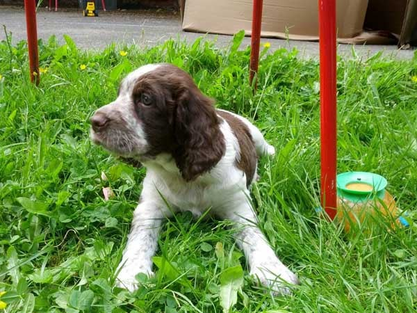 Picture of Watson, an English Springer Spaniel puppy, sitting in the grass